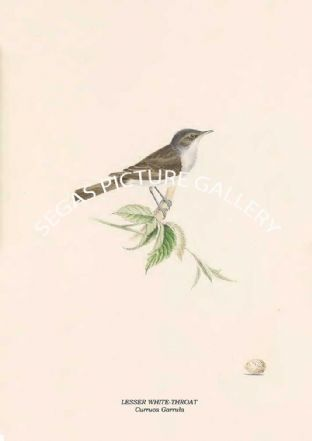 LESSER WHITE-THROAT - Curruca Garrula